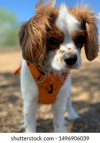A beautiful Cavalier King Charles Spaniel enjoying the finer things in life.