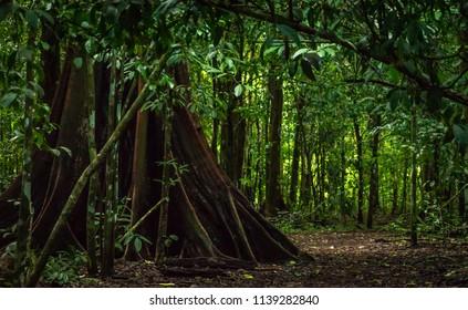 Beautiful Ceiba Tree on the Path