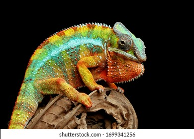 Beautiful of chameleon panther, chameleon panther on branch, chameleon panther closeup, Chameleon panther on dry leaves with black backround,