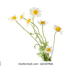 Beautiful chamomile flowers on white background