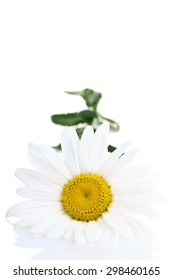 Beautiful chamomile on a  isolated white background