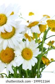 Beautiful chamomiles close up