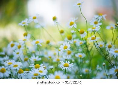 Beautiful chamomiles field at the sun, shallow depth of field