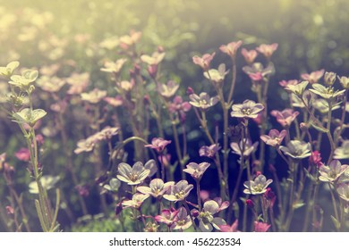 Beautiful chamomiles field at the sun, shallow depth of field. Nature background with pink flowers, White and pink
