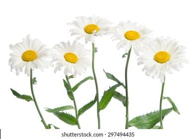 beautiful chamomiles isolated on white