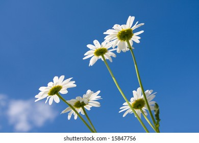 beautiful chamomiles on a sky background