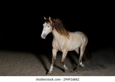 A beautiful champagne stallion horse moving or trotting on a dark background