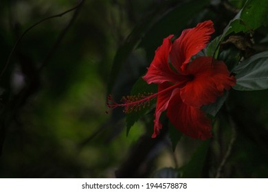 Beautiful and charming hibiscus flower in kerala