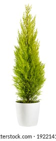Beautiful chartreuse-coloured foliage of an evergreen Cupressus wilma goldcrest cypress in a flowerpot, side view isolated on white