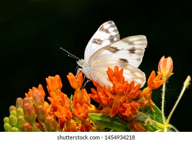 Beautiful Checkered White butterfly on bright orange Butterflyweed flowers against dark background