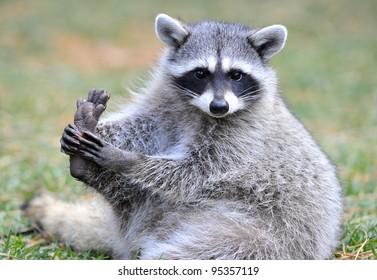 beautiful cheeky north american raccoon, yellowstone national park, idaho / wyoming, united states. masked bandit sneaky mammal