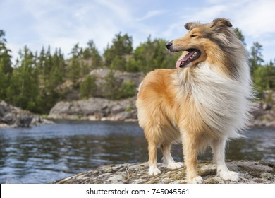 Beautiful cheerful happy Scottish rough collie dog is standing on granite rock of Karelia, looking like a powerful conqueror, feeling freedom, wilderness, satisfaction from hiking, hunt