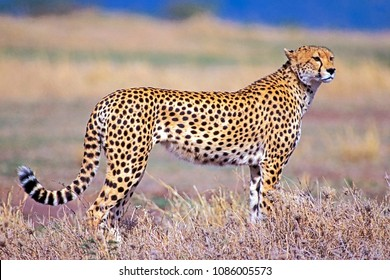 Beautiful Cheetah hunting in Savannah, portrait, watching, alert