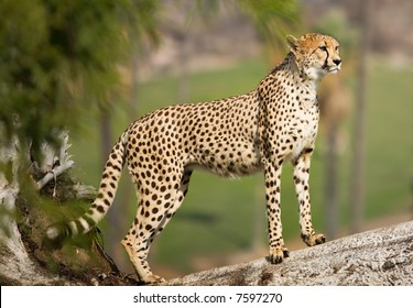 Beautiful cheetah looking away.