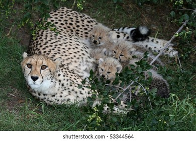 Beautiful cheetah mother and four cubs after a feed