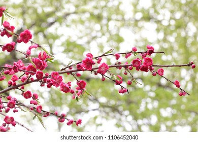 Beautiful cherry blossom flowers branches over foliage bokeh background