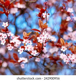 Beautiful cherry blossom flowers on a spring day
