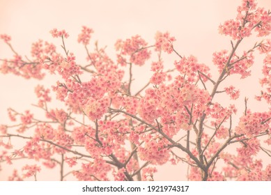a beautiful cherry blossom in japanese type