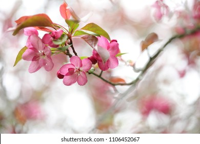 Beautiful Cherry Blossom for natural abstract background