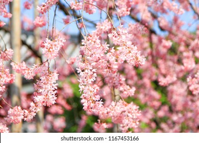 Beautiful of cherry blossom pink sakura flower with blue sky background.