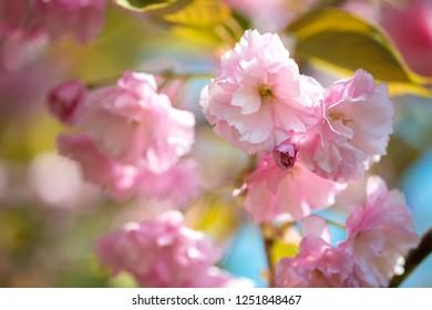 Beautiful cherry blossom , pink sakura flower on nature background - selective focus