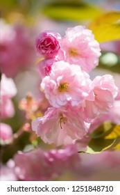 Beautiful cherry blossom , pink sakura flower on nature background - selective focus, vertical orientation