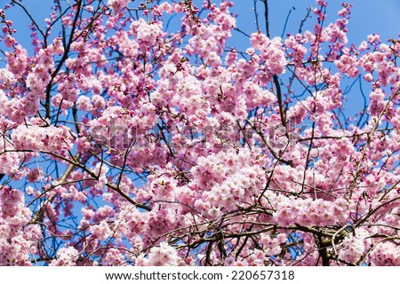 Beautiful cherry blossom pink sakura flower stock photo edit now beautiful cherry blossom pink sakura flower mightylinksfo