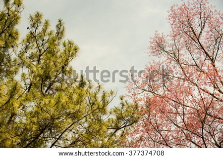Beautiful cherry blossom pink sakura flower stock photo edit now beautiful cherry blossom pink sakura flower with pine tree background in chiangmai thailand mightylinksfo
