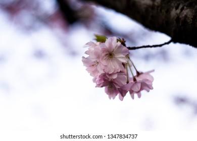 Beautiful cherry blossom Sakura against blue sky with selective focus