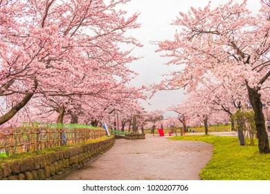 Beautiful cherry blossom sakura festival  of Muramatsu Park in spring time, Niigata Prefecture,Japan.