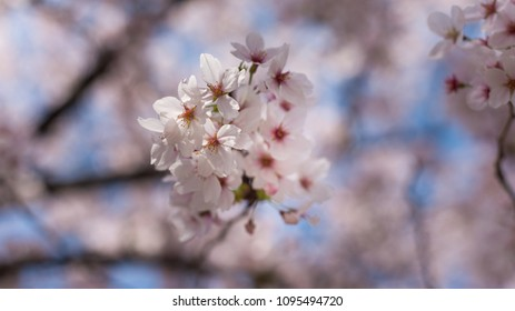 Beautiful cherry blossom sakura in spring time over blue sky.(Shallow depth of field)