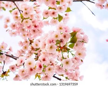 Beautiful cherry blossom (sakura) in spring season of Okayama city, Japan at Okayama castle park