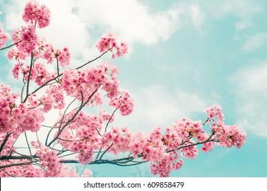 Beautiful cherry blossom sakura in spring time over blue sky. - Shutterstock ID 609858479