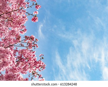 Beautiful Cherry Blossom Sakura in spring time over blue sky, Yokohama, Japan