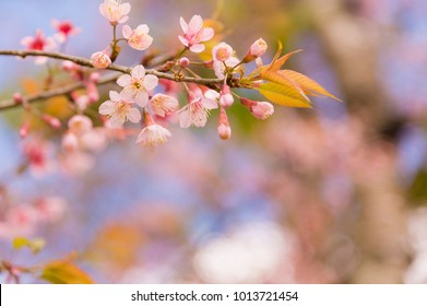 Beautiful cherry blossom in spring time over blue sky.Pink flower Nature background.