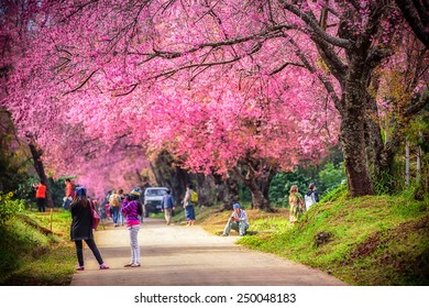 Beautiful cherry blossom tree garden , Chiang Mai, Thailand