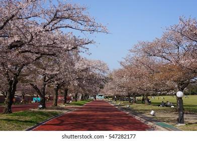 Beautiful cherry blossom tree (Sakura tree) pathway