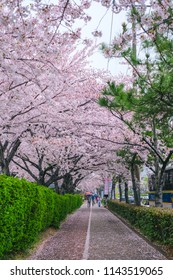 Beautiful cherry blossom tunnel in Jinhae cherry blossom festival at Jinhae city of South Korea on April 2018.