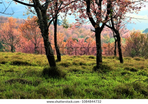 Beautiful cherry blossom,Phitsanulok , Thailand,gret view for wallpaper,for business