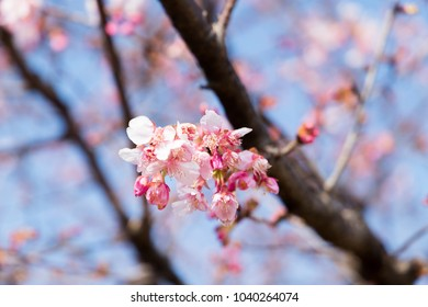 a beautiful Cherry blossoms