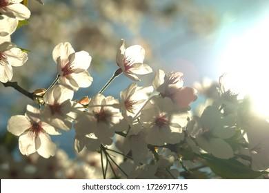 봄에는 아름다운 벚꽃이 피었다