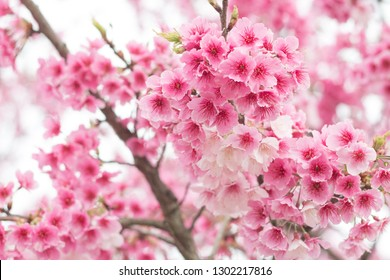 Beautiful cherry blossoms blooming in Yangming Mountain, Taiwan