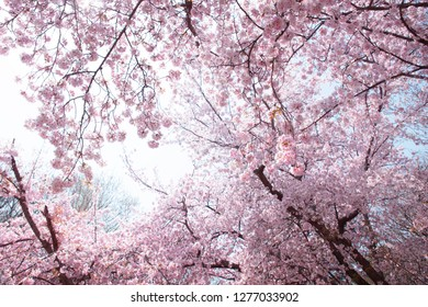 Beautiful cherry blossoms in full bloom, canopy with blue sky in background.
