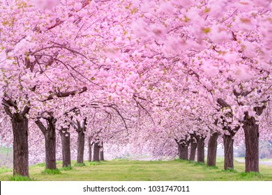 Beautiful cherry blossoms. Japan Obuse-machi, Nagano Prefecture.