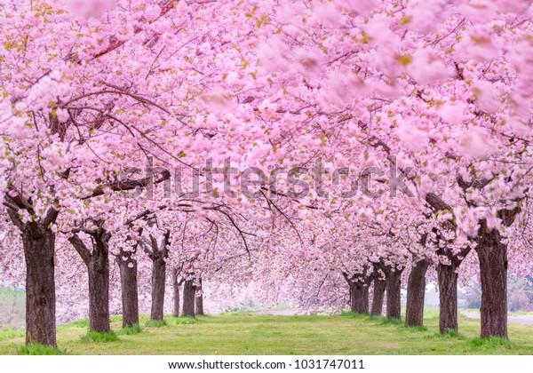 Beautiful cherry blossoms. Japan Obuse-machi, Nagano Prefecture.