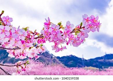 Beautiful cherry blossoms in Kawazu town