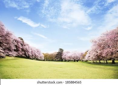 Beautiful cherry blossoms landscape