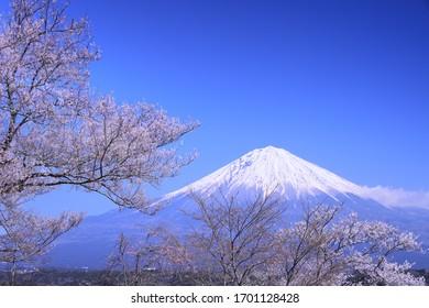 Beautiful cherry blossoms and Mt. Fuji