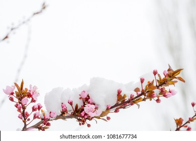 Beautiful cherry blossoms on a branch with snow on them in a horizontal position isolated on a white background shot in extreme weather.