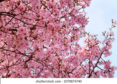 Beautiful cherry blossoms on the trees